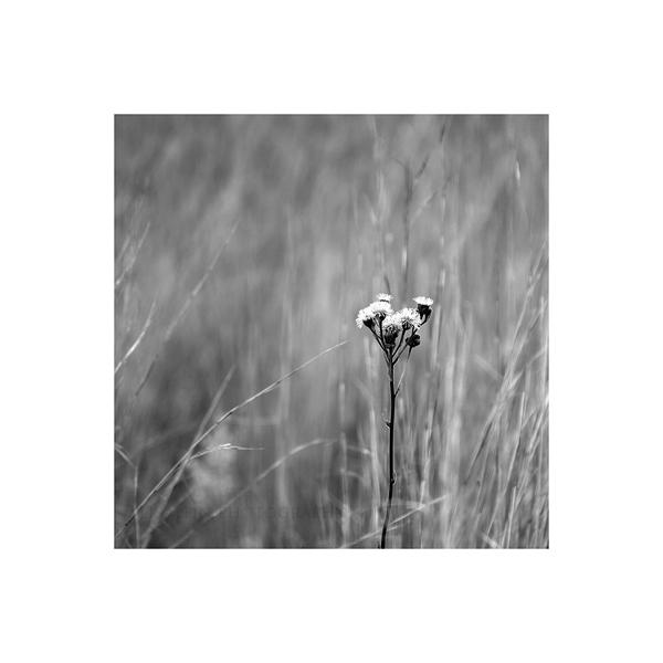 Wuestenblume by Lisa-Schneider