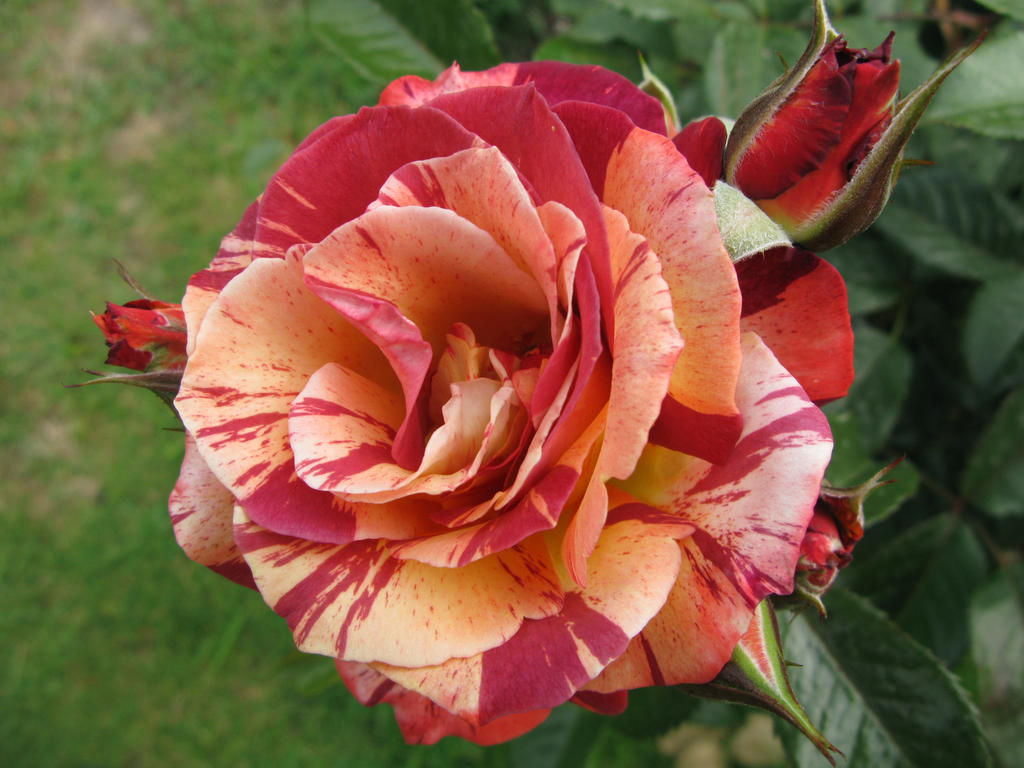 Striped Dark Pink And Yellow Rose By Lovely Serry