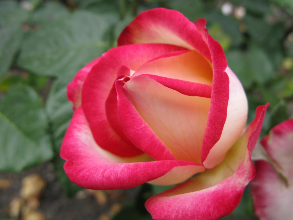 dark pink roses - HD1024×768