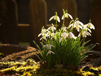 Snowdrops 2 by Thomas61