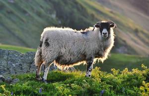 Torr Head Sheep II UPDATE
