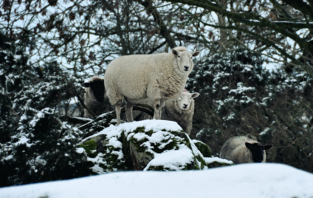 Sheep in the winter Snow UPDATE by younghappy