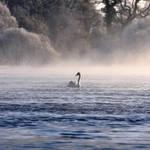 Swan on the Bann II