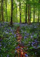 Garvagh Forest Bluebells V by younghappy