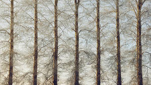 Poplars in winter