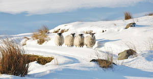 Sheep in the Snow 2