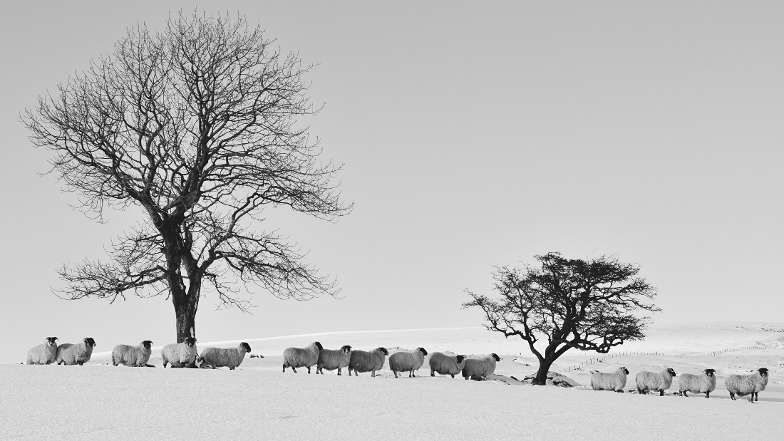 http://fc05.deviantart.net/fs70/f/2012/228/0/0/sheep_in_the_snow4_by_younghappy-d5bbnf0.jpg