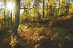 Birch woodland, Scotland
