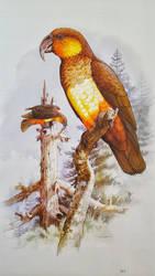 Norfolk kaka [Nestor productus] [extinct] by L-ucifer-Morningstar