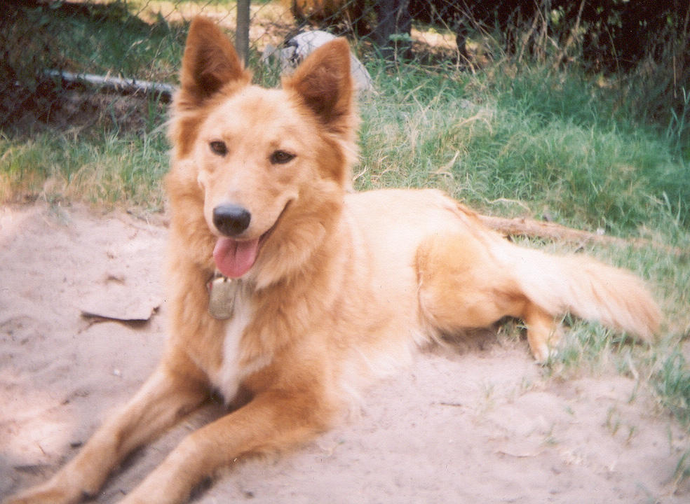Can Dogs And Coyotes Breed