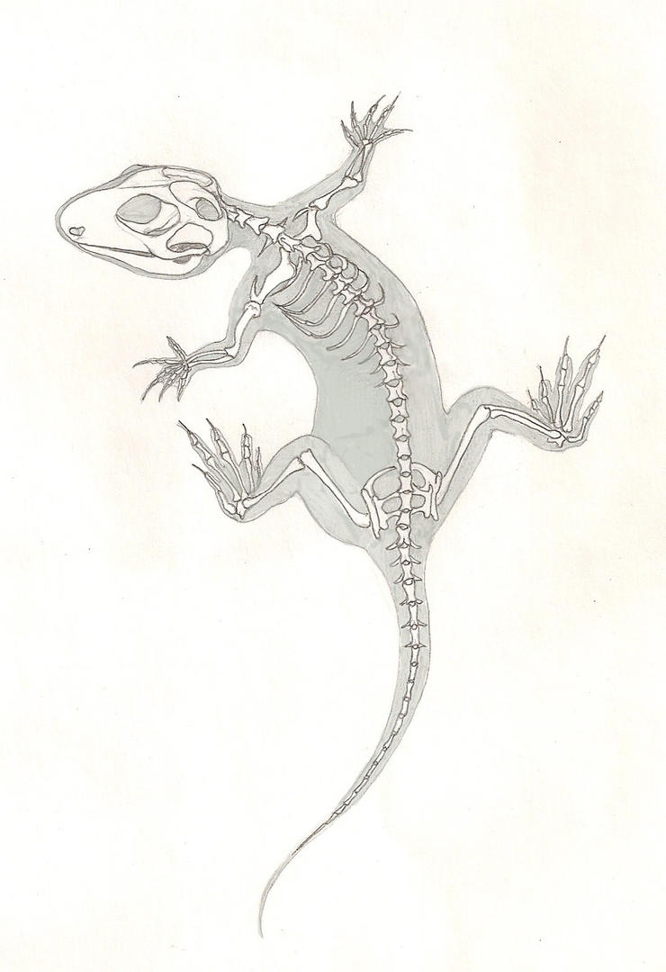 X-ray lizard by Lacertilia on DeviantArt for House Lizard Drawing  15lptgx