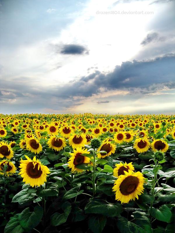 Yellow field by Drazen1804