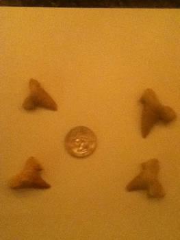 Assorted Shark Teeth