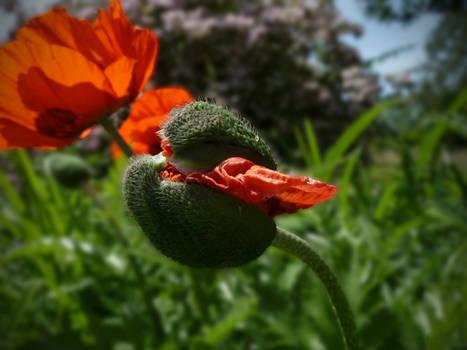 Poppy Bud 4