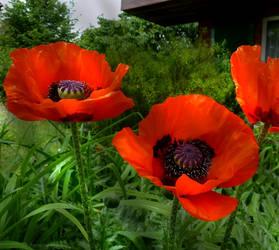 Red Beauties in my Garden