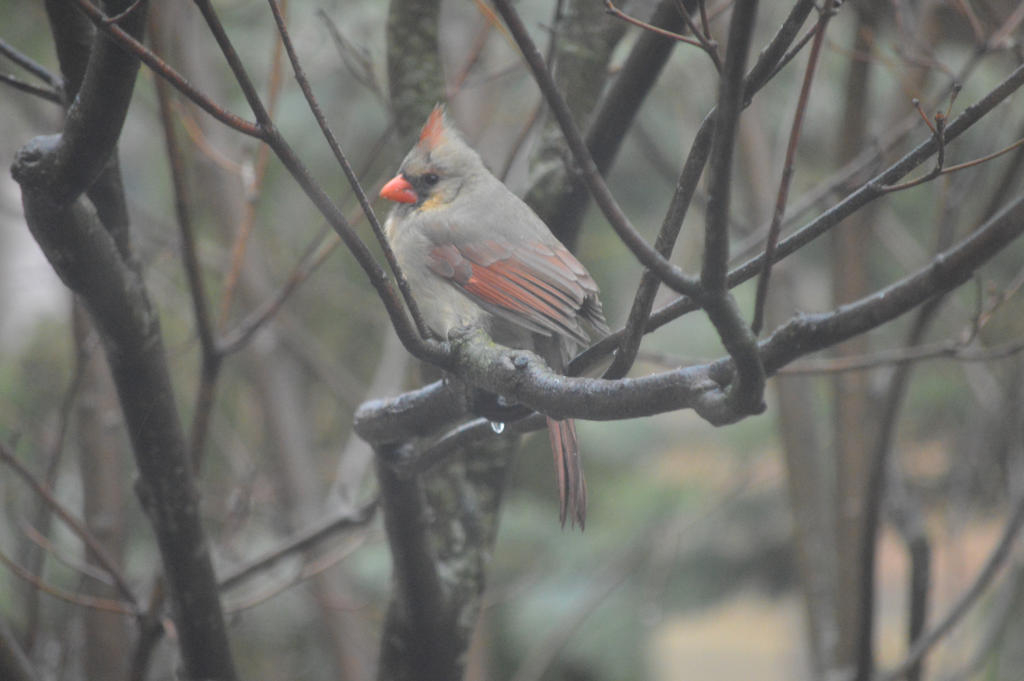 Female Cardinal by Ciao-Arrivederci