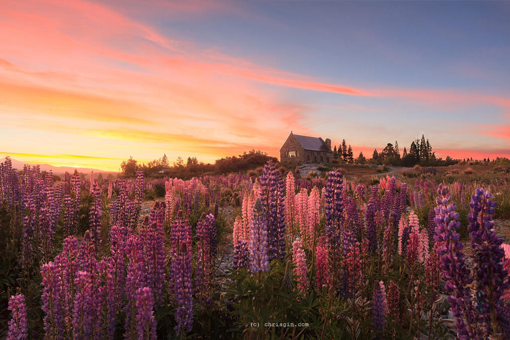 Lupin Sunrise by chrisgin