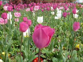 Tulips - Lalezar by ssonmez