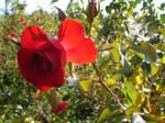 Red Rose - Rose Red