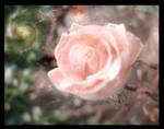 Rose Universe - Gul Evren