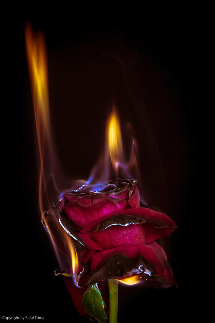Burning rose 2 by rafael0908