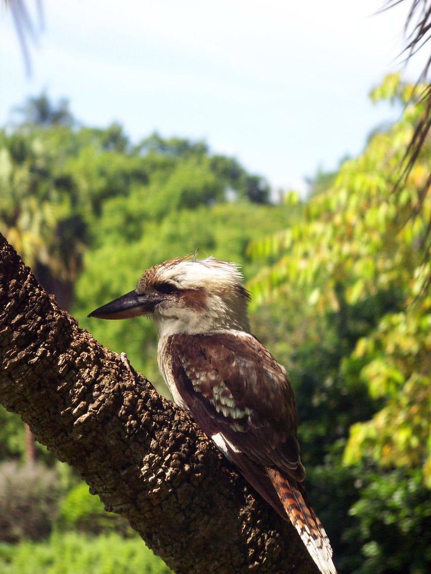Kookaburra 1 by Mop-of-the-Bucket