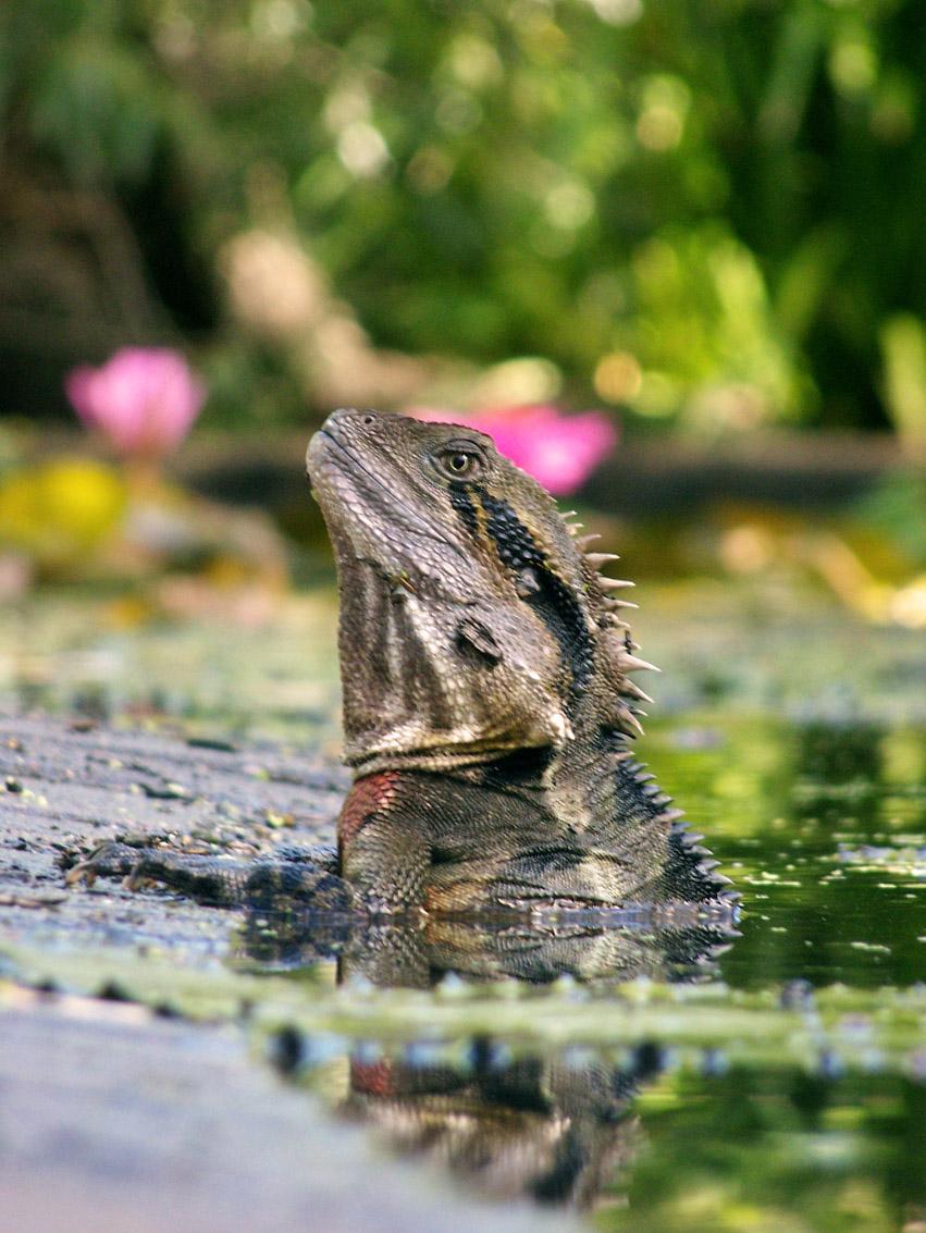 Bathing Lizard by Mop-of-the-Bucket