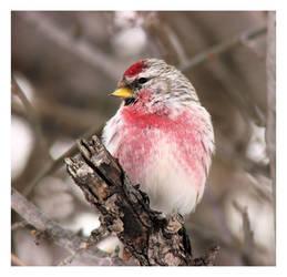 Redpoll Wonder by dove-51