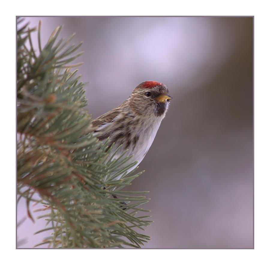 Peek-a-boo Redpoll by dove-51