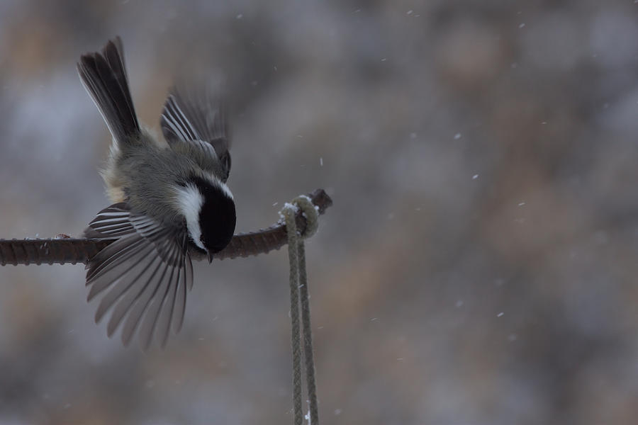 Chickadee Dive by dove-51