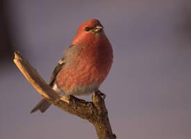 Pine Grosbeak (male) by dove-51