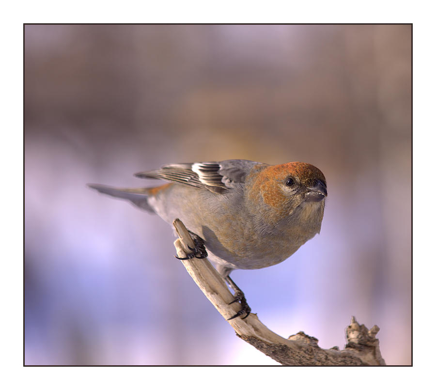 Pine Grosbeak (female) by dove-51