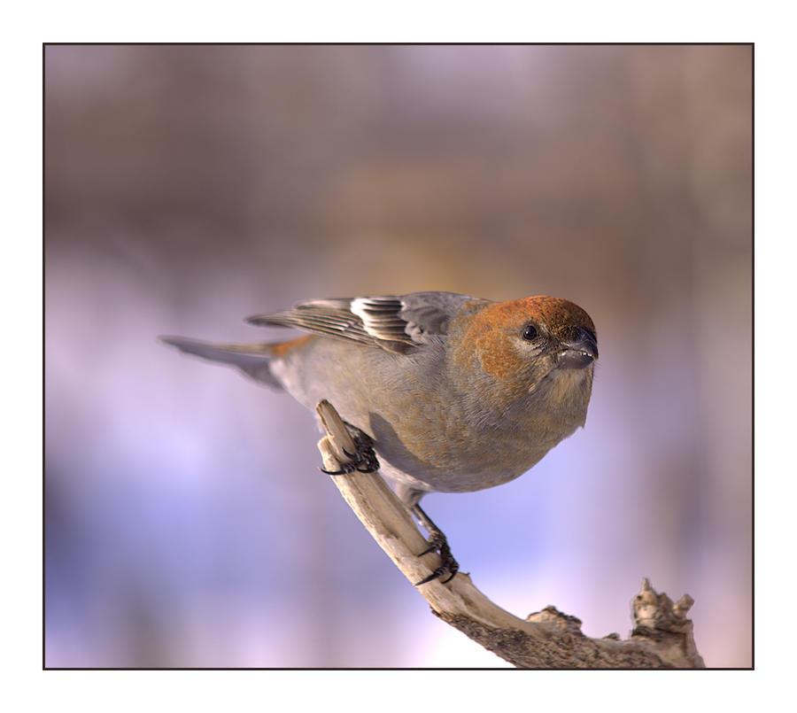 Pine Grosbeak (female) by dove-51