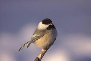 Chickadee Song