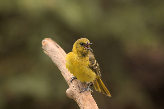Mrs. Orchard Oriole