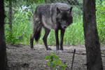 Wolf Stock 031