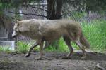 Wolf Stock 040