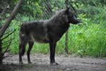 Wolf Stock 032