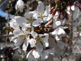 Cherry Blossoms II by mirrorage