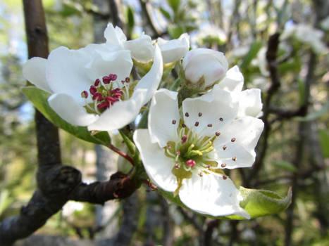 Pear Blossom I
