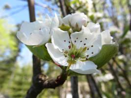 Pear Blossom II