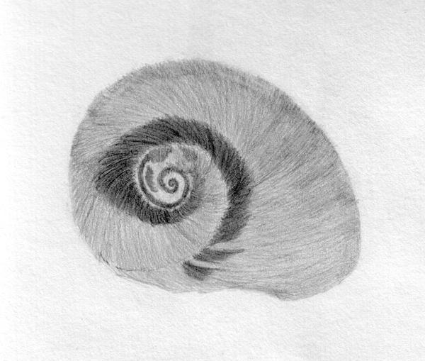 Shell Pencil Sketch By Geak Of Nature On Deviantart