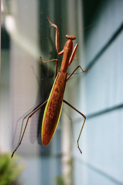 Praying Mantis -- Full by Geak-of-Nature