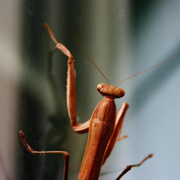 Praying Mantis -- Head by Geak-of-Nature