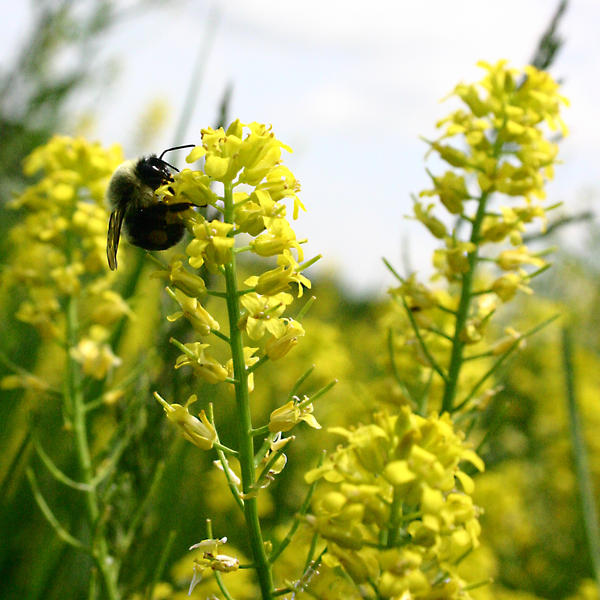 Bee on Yellow Flowers by Geak-of-Nature