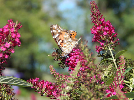 2019 Painted Lady butterfly