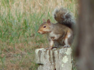 Squirrel on Fence Post
