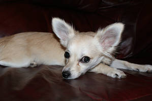 chihuahua by angelsmommy
