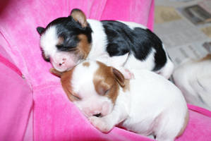 angels cavalier pups by angelsmommy