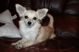 bindi  my chihuahua by angelsmommy